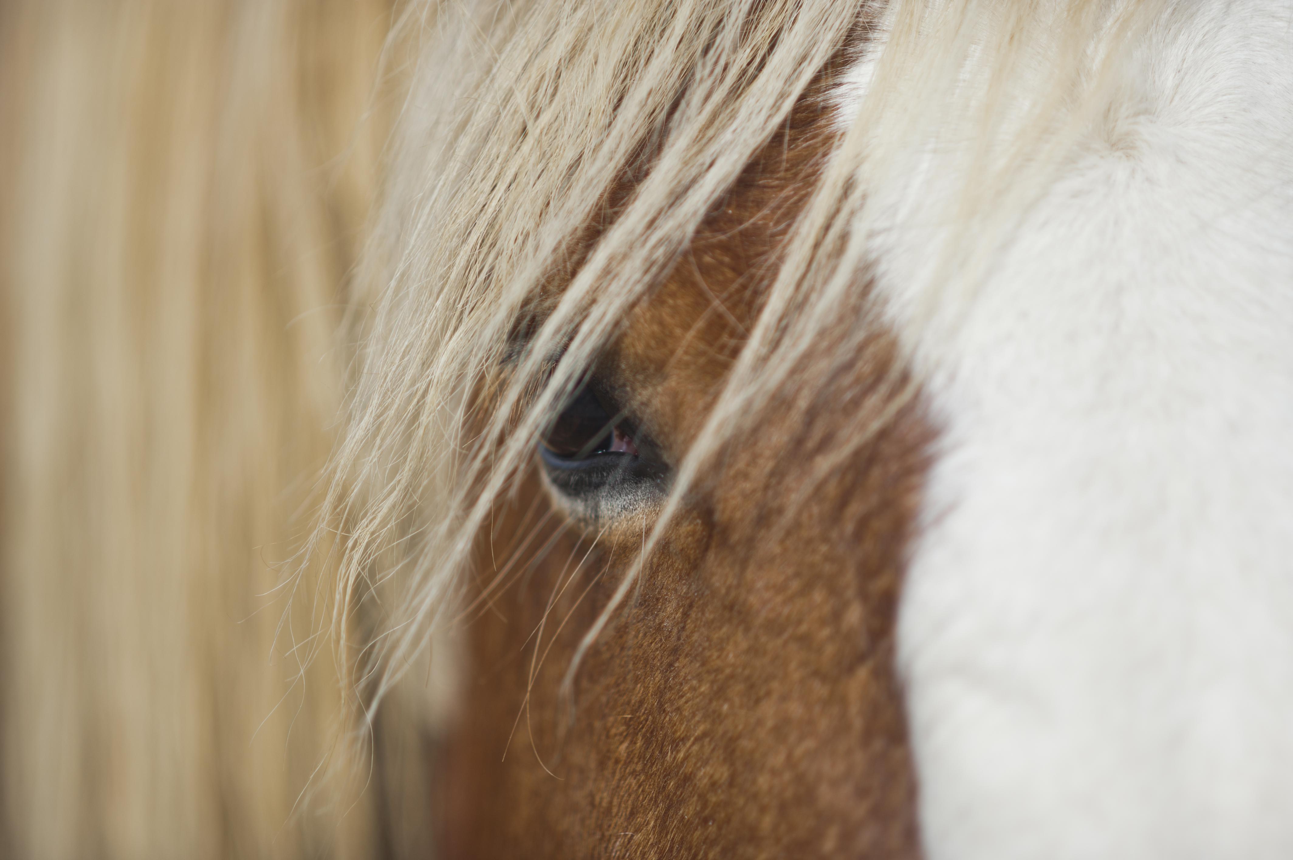 Gros plan sur regard d'un cheval de trait