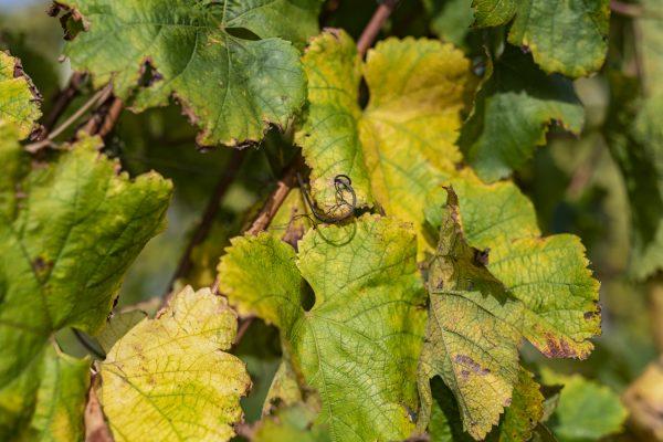 Feuilles de vigne du Jurançon au début de l'automne