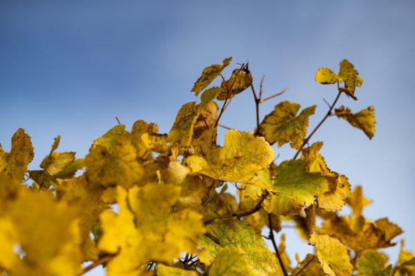 Feuilles de vigne du Jurançon au début de l'automne sur fond de ciel bleu